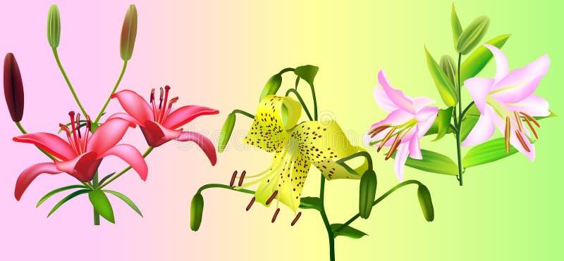 Flor do lírio ilustração stock