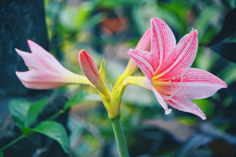 Flor do lírio foto de stock royalty free