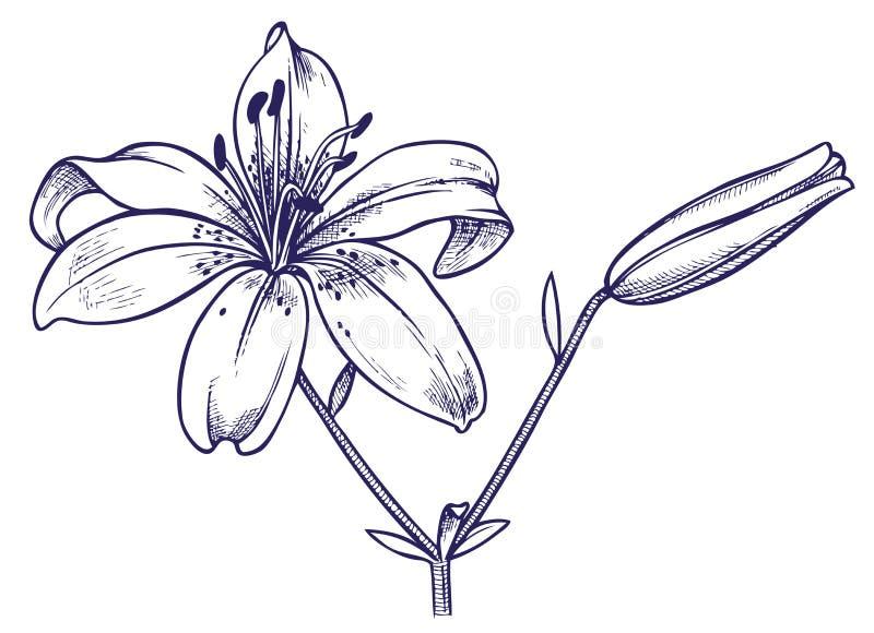 Flor do lírio ilustração royalty free
