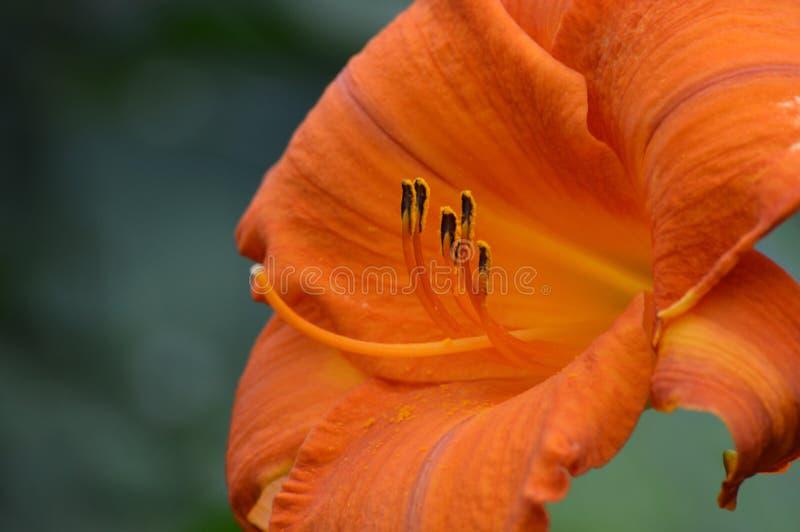 Flor do lírio fotos de stock