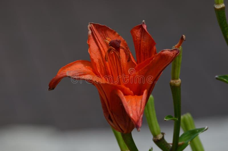 Flor do lírio imagens de stock