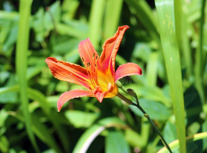 Flor do lírio, flor alaranjada bonita no verão fotografia de stock royalty free