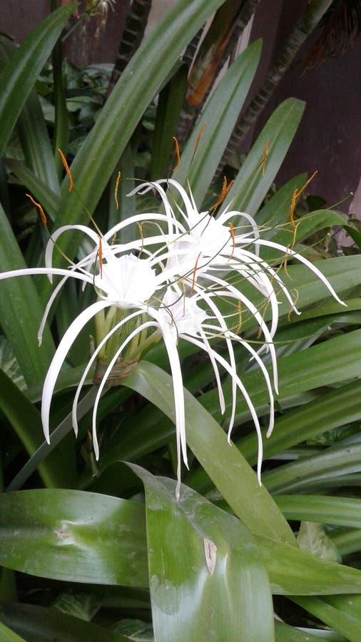 Flor do lírio branco foto de stock royalty free