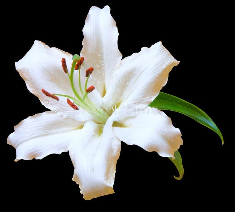 Flor do lírio branco no preto foto de stock