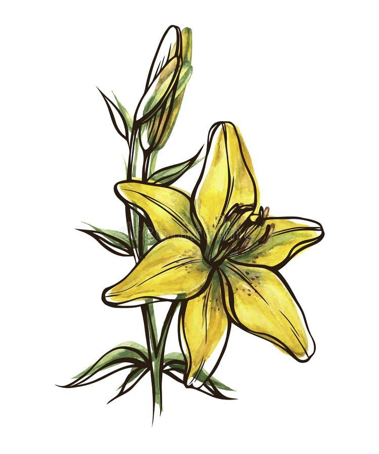 Flor do lírio com botão ilustração do vetor