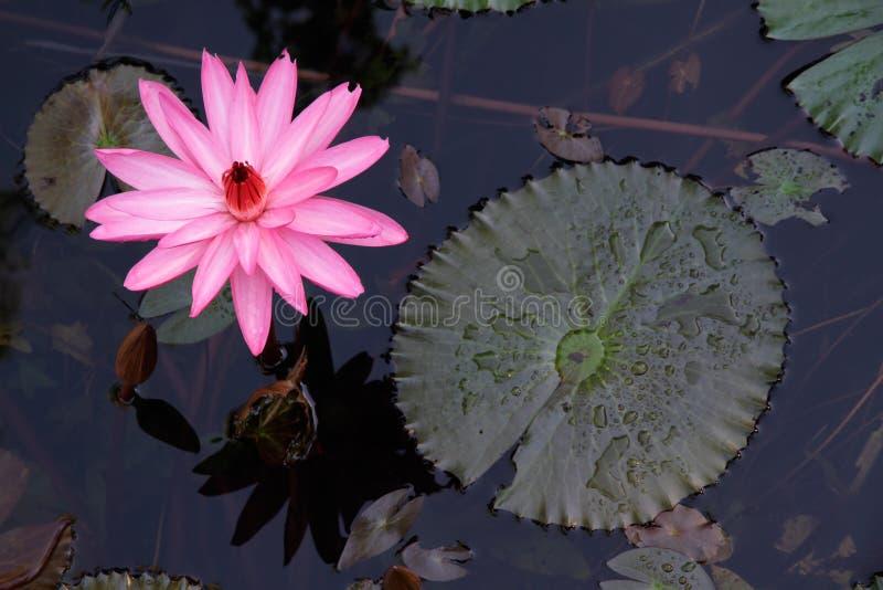 Flor do lírio de água foto de stock royalty free