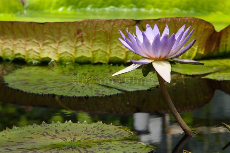 Flor do lírio de água gigante na lagoa imagens de stock