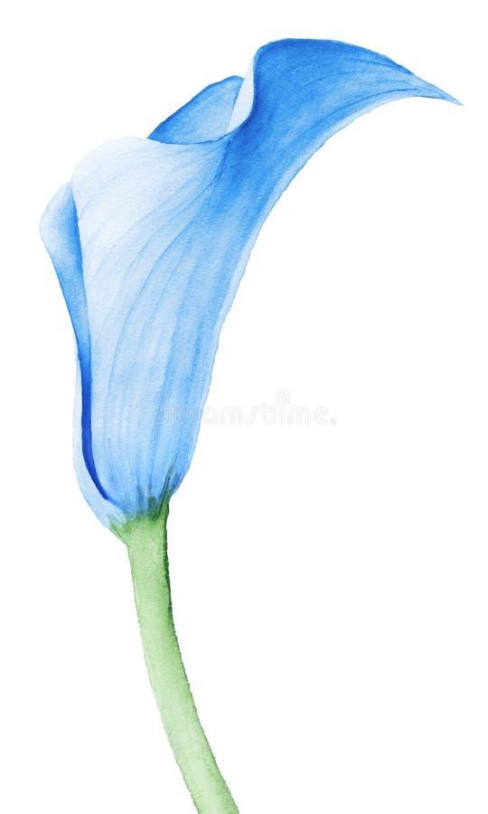 Flor do lírio de Calla ilustração do vetor