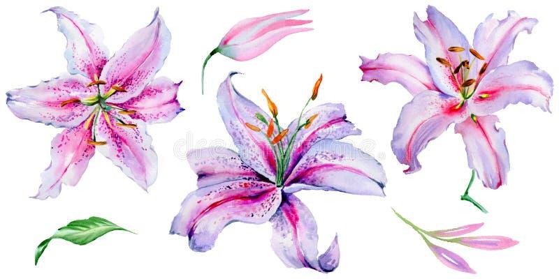 Flor do lírio do Wildflower em um estilo da aquarela isolada ilustração stock