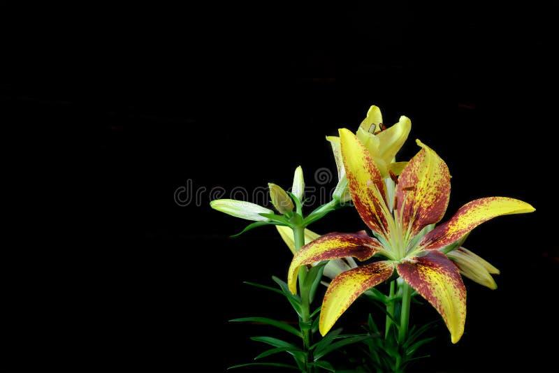 Flor do lírio isolada no fundo preto fotografia de stock