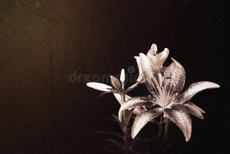 Flor do lírio no fundo escuro do grunge fotos de stock