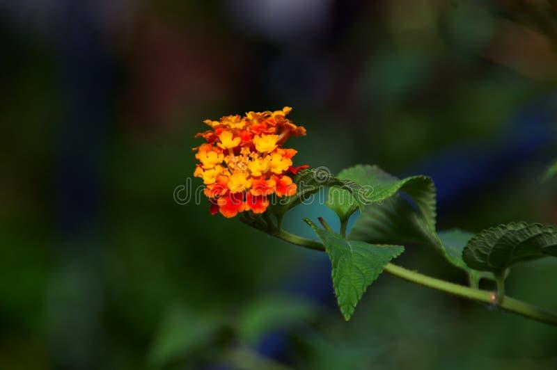 Flor do Lantana imagem de stock