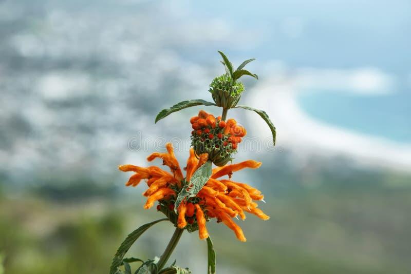 Flor do leonurus do Leonotis em África do Sul imagens de stock royalty free