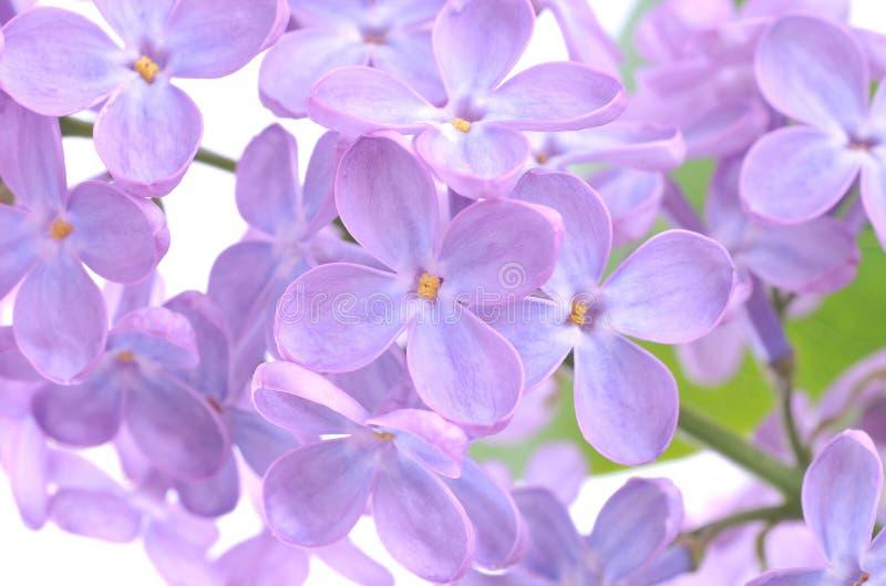 Flor do Lilac foto de stock royalty free