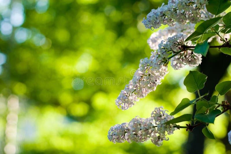 Flor do Lilac imagem de stock royalty free