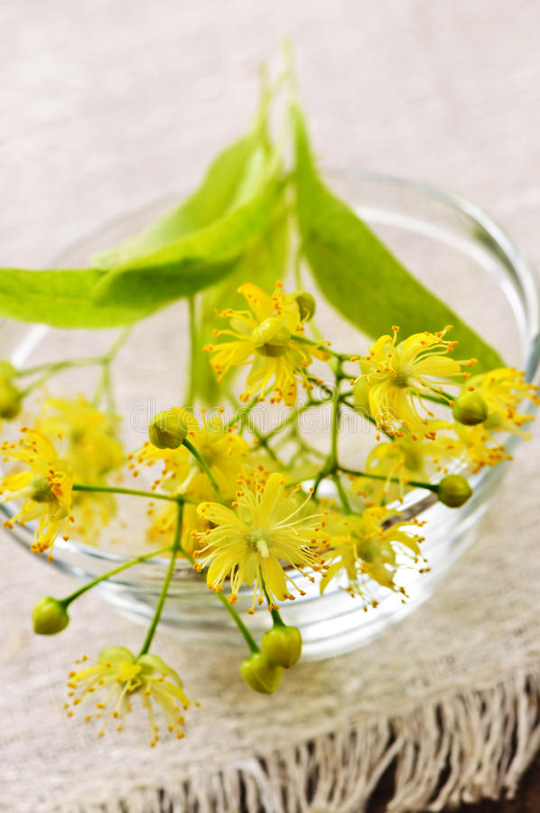 Flor do Linden fotografia de stock