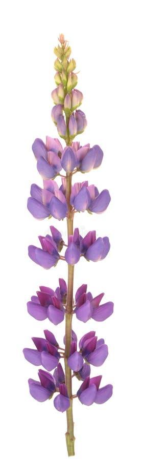 Flor do Lupine imagem de stock royalty free