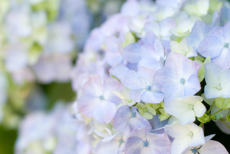 Flor do macrophylla do Hydrangea foto de stock