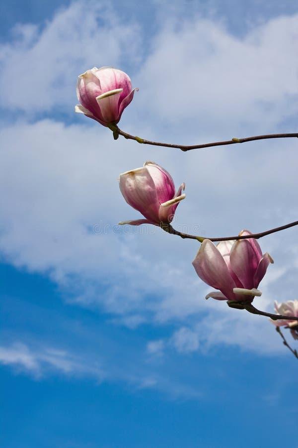 flor do magnolia foto de stock royalty free