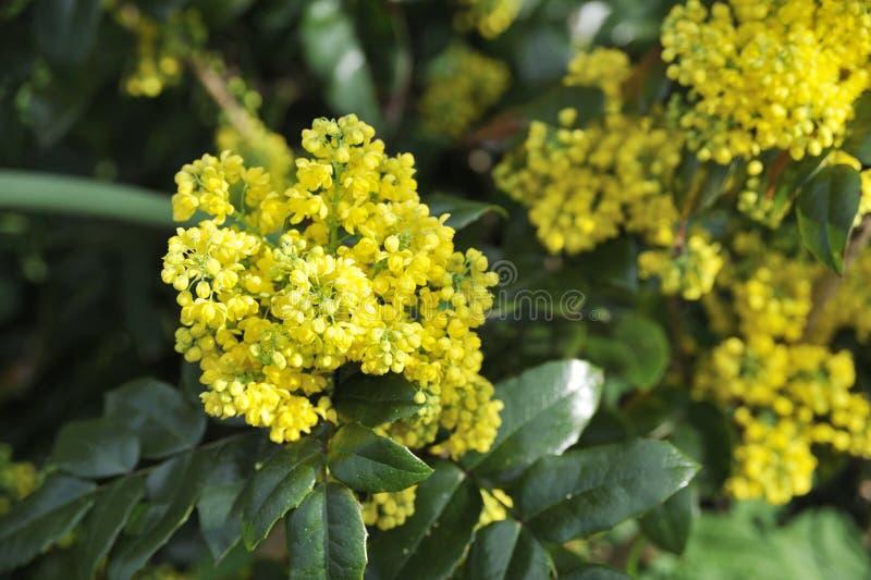 Flor do Mahonia imagens de stock royalty free