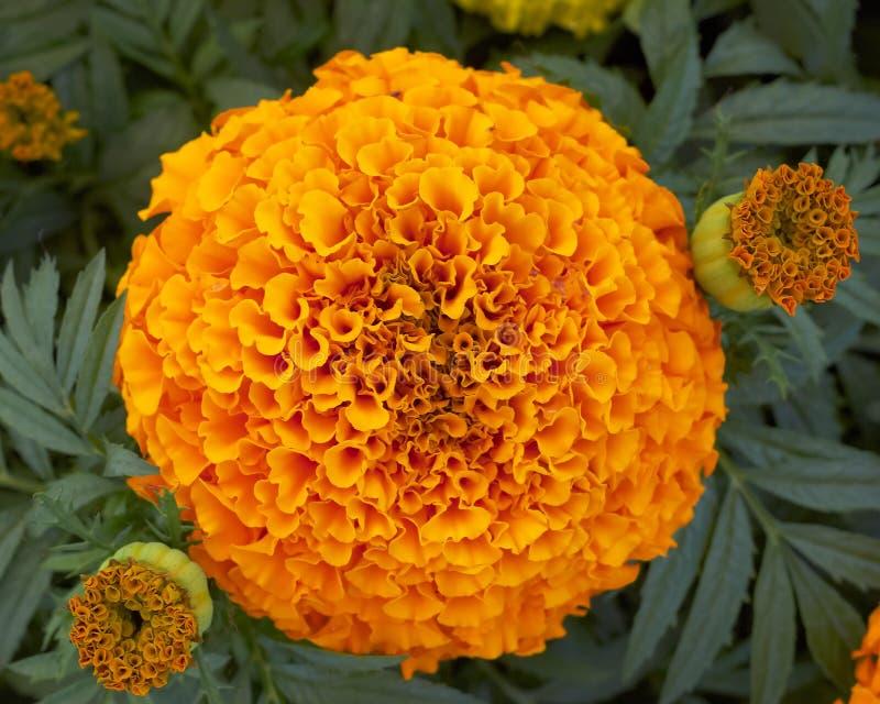 Flor do marigold de potenciômetro fotos de stock