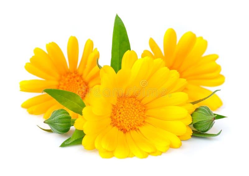 Flor do Marigold isolada imagem de stock royalty free