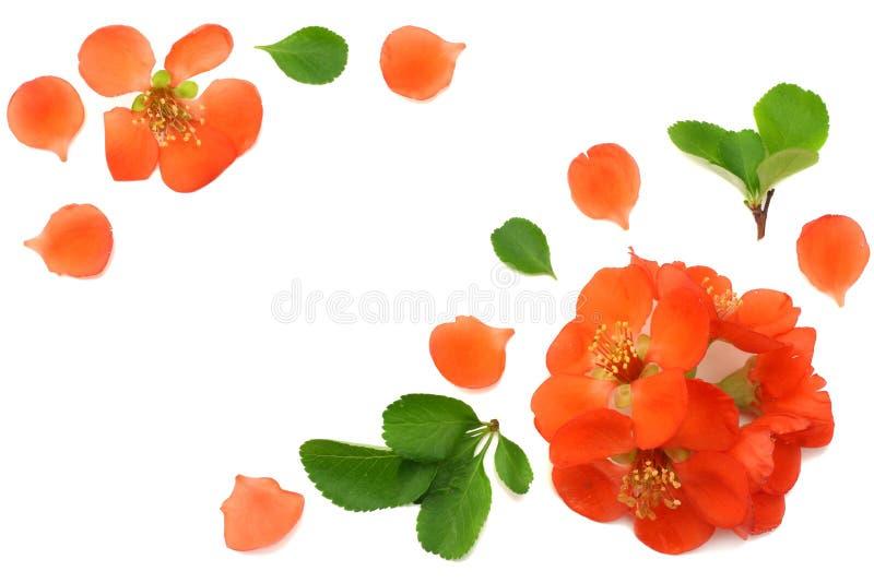 flor do marmelo isolada no fundo branco Flores vermelhas Vista superior com espaço da cópia imagem de stock royalty free