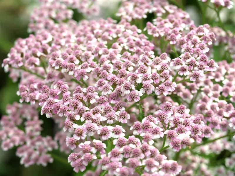 Flor do millefolium de Achillea fotos de stock