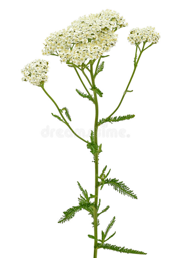 Flor do millefolium de Achillea imagem de stock royalty free