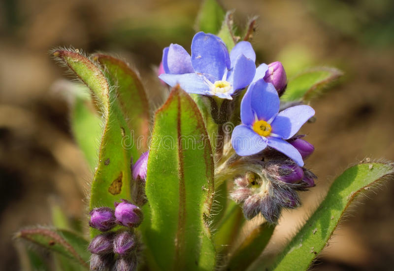 Flor do miosótis foto de stock