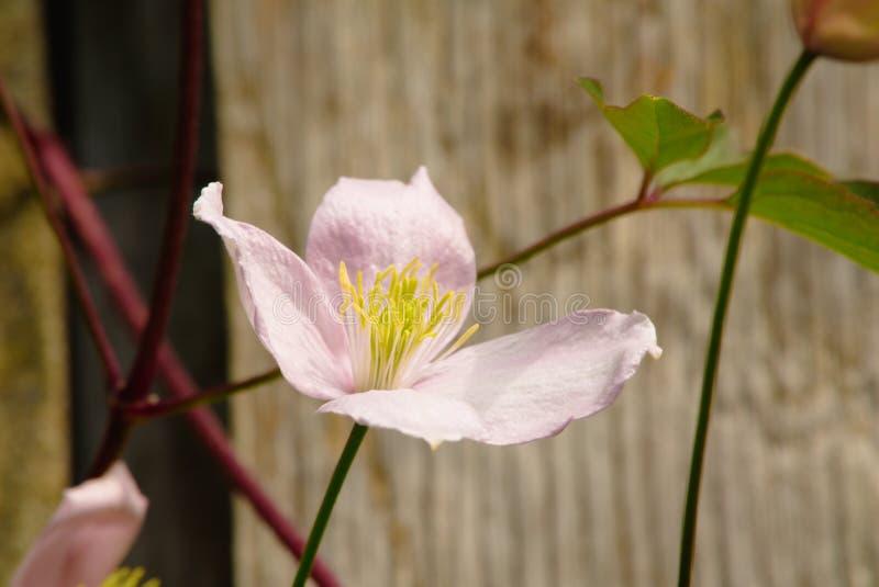 Flor do Montana das clematites ' foto de stock