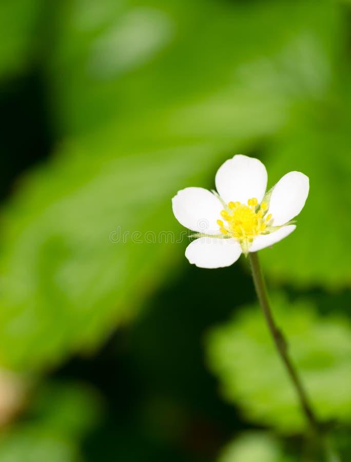 Flor do morango silvestre imagem de stock royalty free