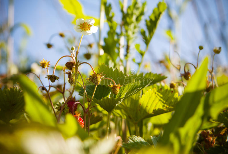 Flor do morango silvestre fotos de stock royalty free