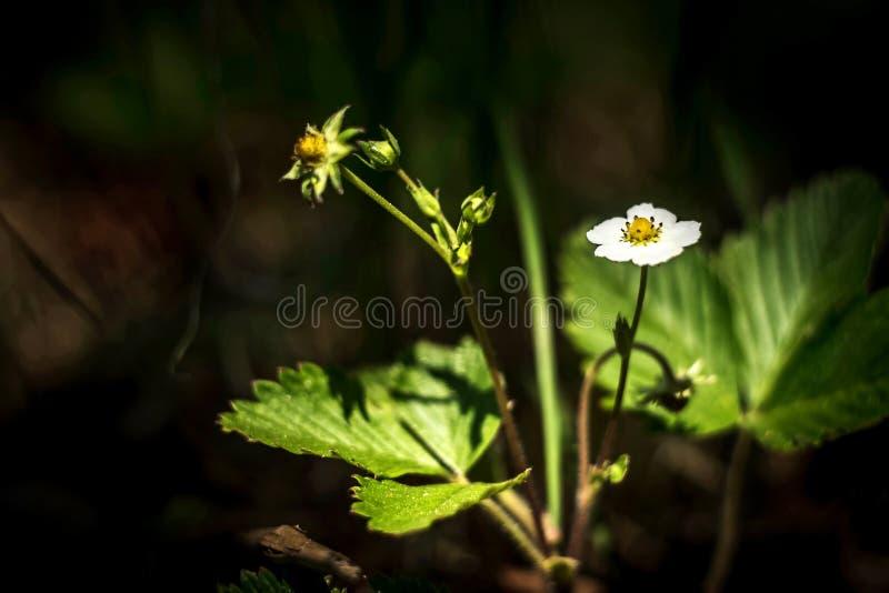 Flor do morango silvestre Flores brancas delicadas na natureza do ver?o imagens de stock