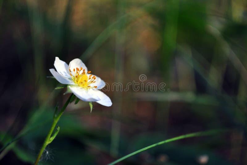 Flor do morango silvestre, mola crescente na floresta, escuro obscuro macio - grama verde imagem de stock