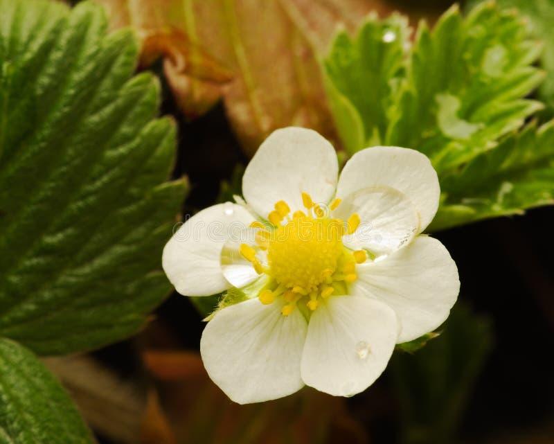 Flor do morango silvestre - vesca da Fragaria imagem de stock