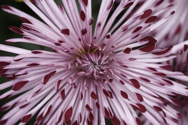 Flor do mum da aranha fotografia de stock