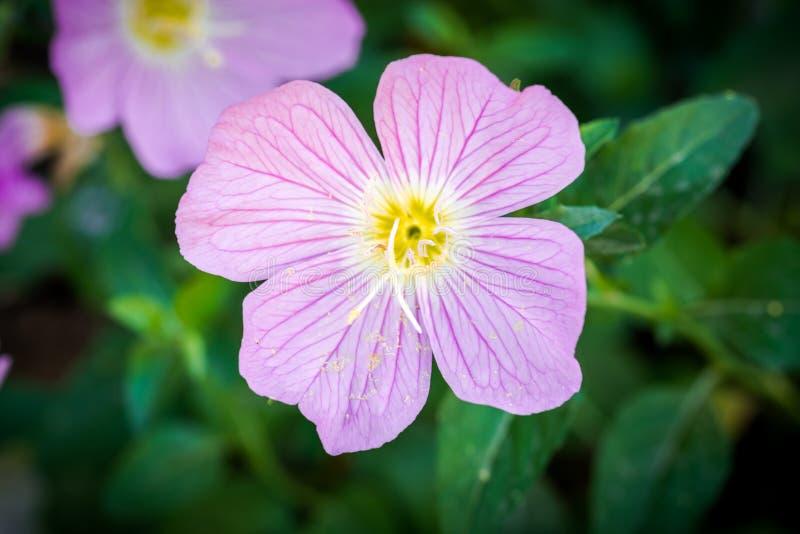 Flor do mundo da fantasia do ger?nio foto de stock