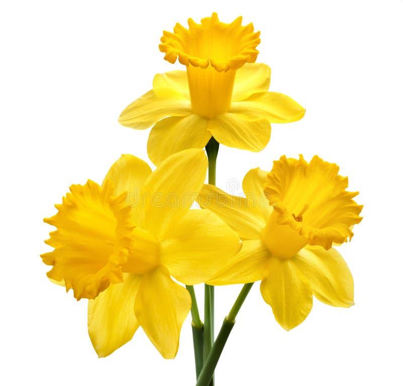 Flor do narciso amarelo imagens de stock royalty free