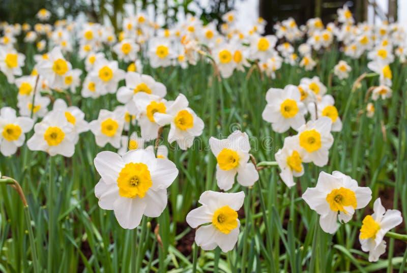 Flor do narciso amarelo fotografia de stock