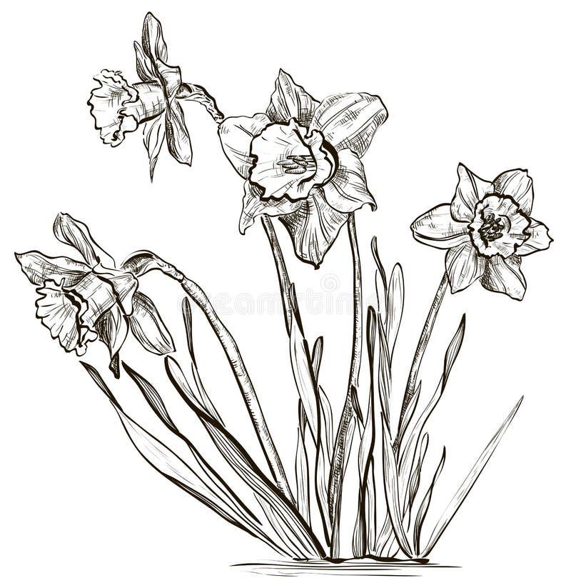 Flor do narciso amarelo ou flor do narciso ilustração royalty free