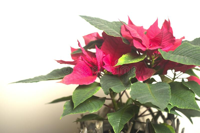 Download Flor do Natal foto de stock. Imagem de christmas, vermelho - 107528884