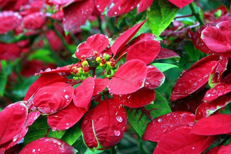 Flor do Natal fotos de stock