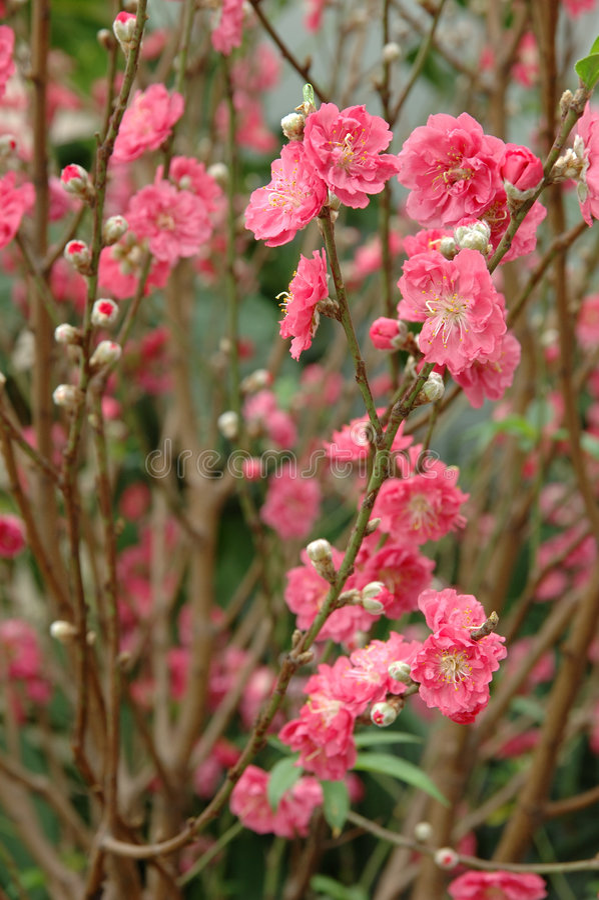 Flor do pêssego fotos de stock
