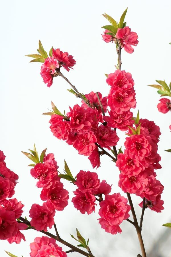 Flor do pêssego fotografia de stock