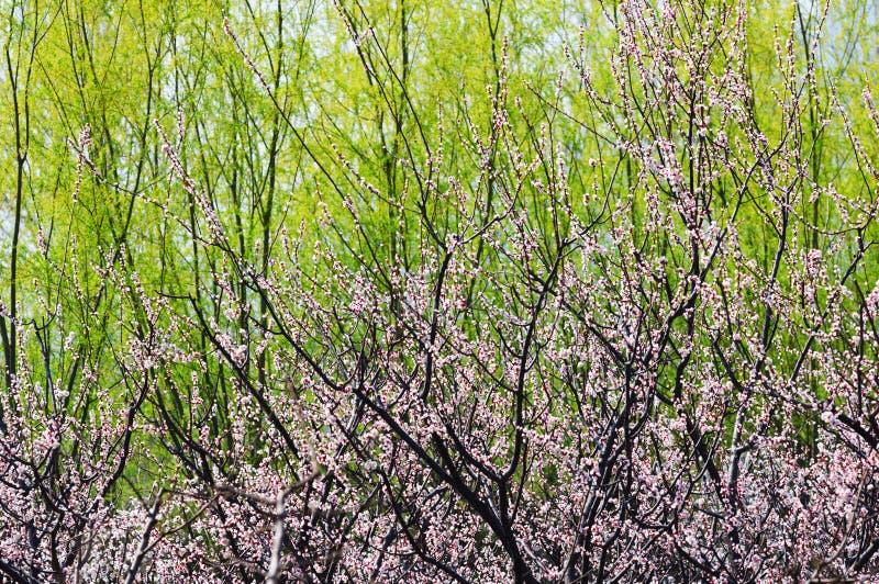 Flor do pêssego imagens de stock