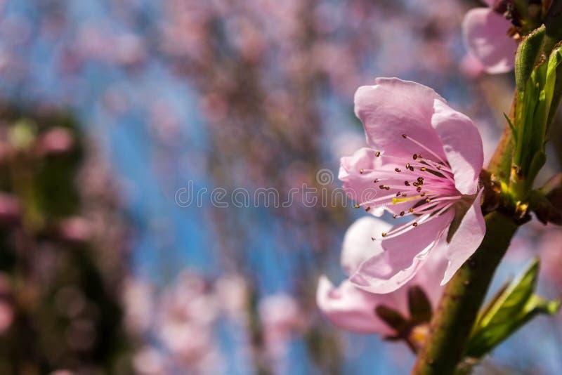 Flor do pêssego com fundo borrado Flor delicadamente cor-de-rosa em um ramo do pêssego imagem de stock