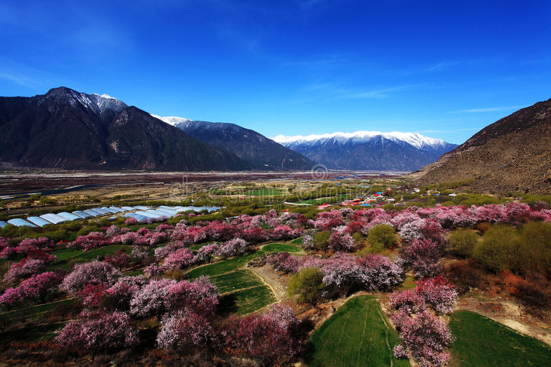 Flor do pêssego e montanhas tampadas neve fotos de stock royalty free