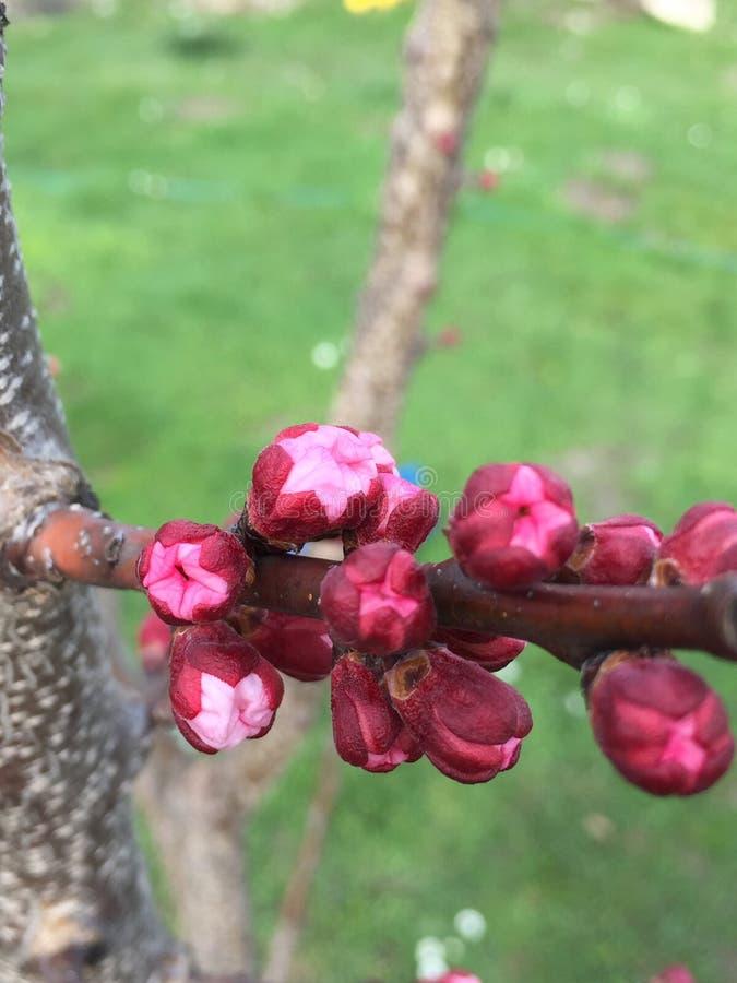 Flor do pêssego na mola fotos de stock royalty free