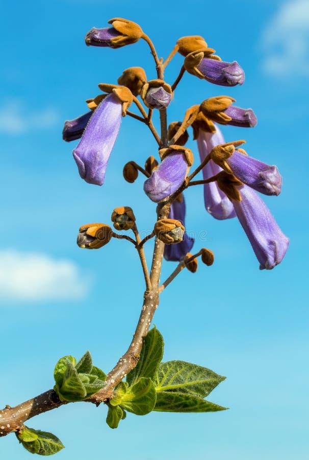 Flor do Paulownia da árvore de crescimento rápido sobre o céu azul com nuvens fotografia de stock